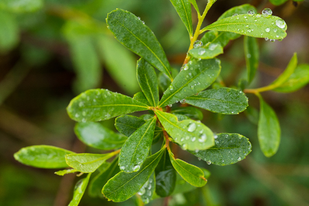 Beautiful, fresh, vibrant leaves of a bog myrtle after the rain. Shallow depth of field closeup macro photo. Imagens