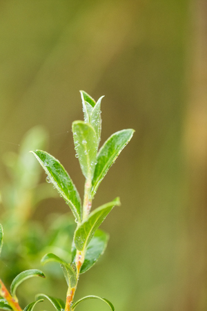 Beautiful, fresh, vibrant leaves of a bog myrtle after the rain. Shallow depth of field closeup macro photo. Stock Photo