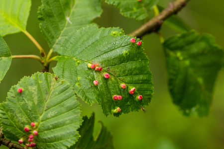 A beautiful, vibrant alder tree leaves on a natural background after the rain in summer. Shallow depth of field closeup macro photo.