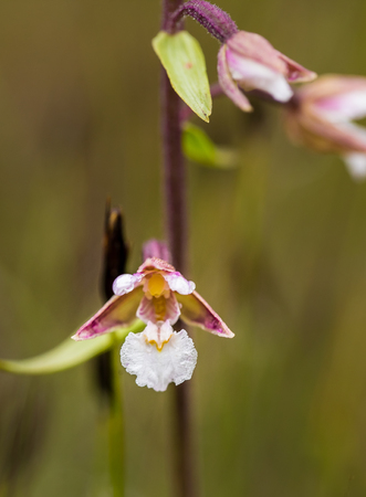 A beautiful rare wild orchid blossoming in the summer marsh. Closeup macro photo, shallow depth of field.