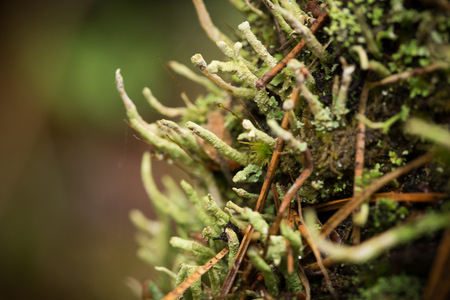 Beautiful lichen in the forest after rain. Shallow depth of field closeup macro photo.