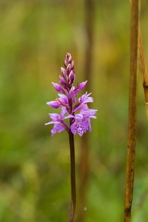 A beautiful rare pink wild orchid blossoming in the summer marsh. Closup macro photo, shallow depth of field. Stock Photo