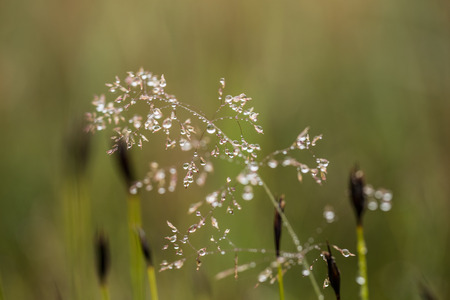 Beautiful closeup of a bent grass on a natural background after the rain with water droplets. Shallow depth of field closeup macro photo.