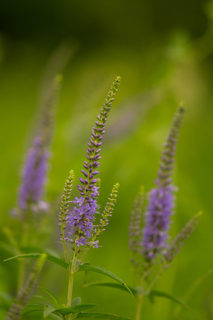 A beautiful longleaf speedwell flowering in a summer meadow. Veronica Longofolia. Stock Photo
