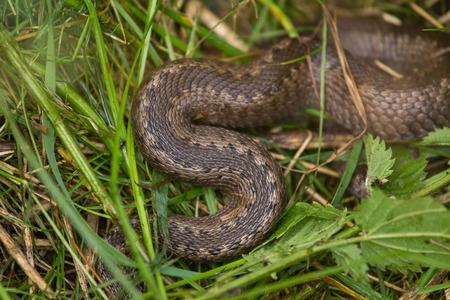 A beautiful viper hiding in a grass in summer meadow. Reptile portrait.