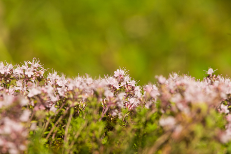 latvia: A beautiful closeup of a natural wild thyme flowers blossoming near the wood. Herbal tea. Closeup with a shallow depth of field.