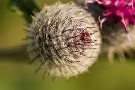 Beautiful thistle heads in the summer light. Thistle growing in the garden. Shallow depth of field closeup photo. Stock Photo