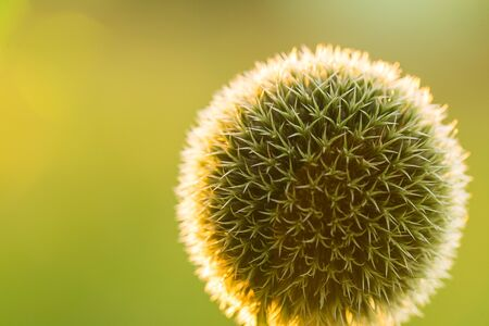 A beautiful decorative thistle heads in the sunset light. Shallow depth of field closeup photo. Low evening light with flares.