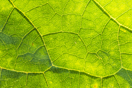 A beautiful closeup of a leaf structure. Macro of sunflower leaf against the sun. Shallow depth of field abstract photo. Imagens