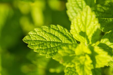 field mint: A beautiful fresh mint growing in the summer garden. Ingredient for a refreshing tea. Shallow depth of field closeup macro photo of leaves.