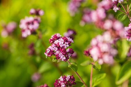 field mint: A beautiful oregano flowers in a garden ready for tea. Good spice for meat. Vibrant summer garden. Shallow depth of field closeup photo.