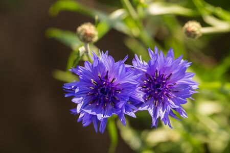 fiordaliso: Beautiful blue cornflowers in the garden. Summer flowers blooming in the sun. Shallow depth of field closeup photo.