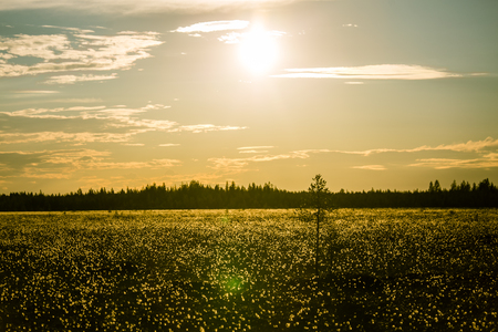 A beautiful bog landscape with cottongrass in sunset with a sun flare - a dreamy look