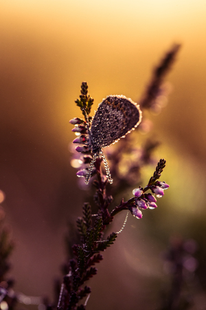 A beautiful blue spotted butterfly sitting on a branch of heather in a morning dew with water droplets on wings. Beautiful closeup of a marsh insect.