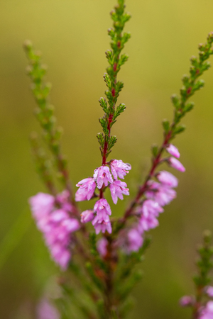 A beautiful pink heathers growing in a marsh in morning light. A beautiful closeup of a swamp flowers.
