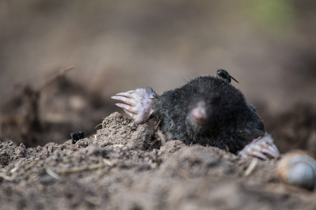 A curious mole sticking his nose out in the light in garden. Shallow depth of field portrait of a mole. Stock Photo