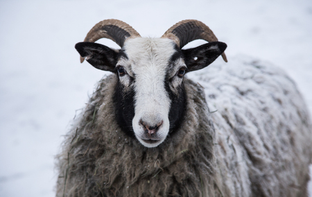 An animal portrait of a beautiful sheep with a snow in wool.