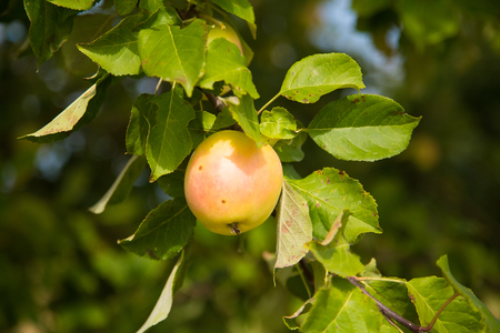 A beautiful natural apples hanging in the apple tree in the end of summer. Countryside landscape in orchard.