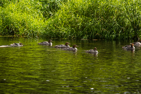Beautiful young great crested grebe birds swimming in the river. Country landscape with birds.