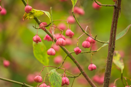 Beautiful, bright fruits of spindle tree in autumn in natural habitat. Colorful autumn closeup. Pink fruits in green leaves.