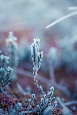 A beautiful closeup of a bog rosemary with ice crystals. SMall wetland plant in a chilly morning in autumn. Frozen Andromeda polifolia. Shallow depth of field. Stock Photo