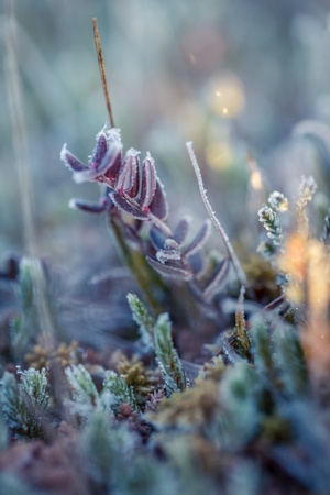 A beautiful frozen cranberries in a morning wetlands. Healthy food with vitamins. Closeup with shallow depth of field.