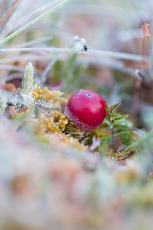 northern light: A beautiful frozen cranberries in a morning wetlands. Healthy food with vitamins. Closeup with shallow depth of field.