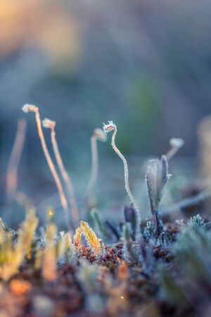northern light: A beautiful closeup of a frosty moss in morning wetlands. Swamp flora with ice crystals. Shallow depth of field.