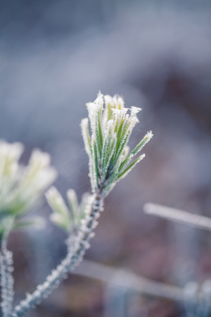 A beautiful closeup of a frosty pine brances in morning light. Swamp trees in sunrise. Shallo depth of field.