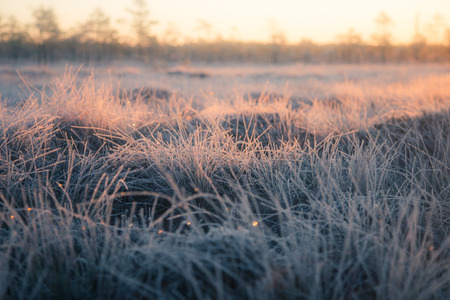 northern light: A beautiful frozen wetland grass in the morning light. Field of frozen sedge grass in swamp. Bright warm light on cold ground.