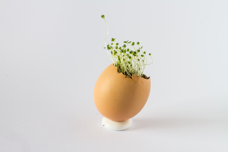 A beautiful fresh sprouts in an egg shell. Miniature garden of healthy food. Ecological food. Isolated on a white background.