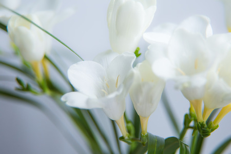 A beautiful closeup of a white freesia flower with shallow depth a beautiful closeup of a white freesia flower with shallow depth of field spring flowers mightylinksfo