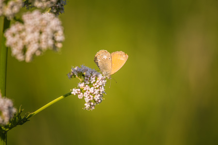 A beautiful orange butterfly sitting on a valerian flower. Closeup in meadow in Latvia, Northern Europe.