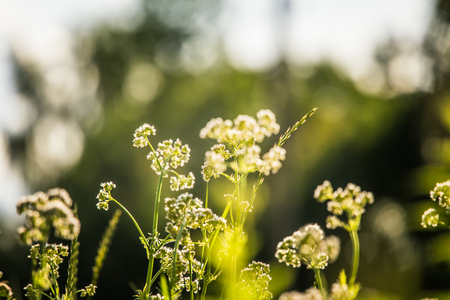 Beautiful summer meadow flowers and grasses during the Midsummer festival day in Latvia, Northern Europe. 版權商用圖片