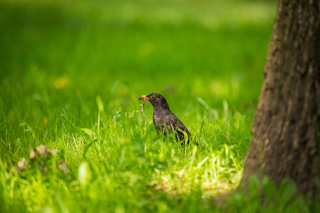 A beautiful common blackbird feeding in the grass in park before migration. Turdus merula. Adult bird in park in Latvia, Northern Europe.