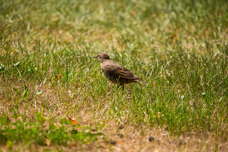 A beautiful, brown common starling female feeding in the grass before migration. Adult bird in park in Latvian, Northern Europe.