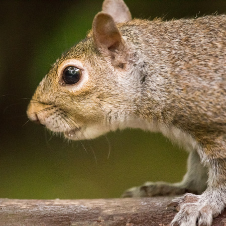 A beautiful common squirrel in a Londons park looking for food. Cute animal portrait. Stock fotó