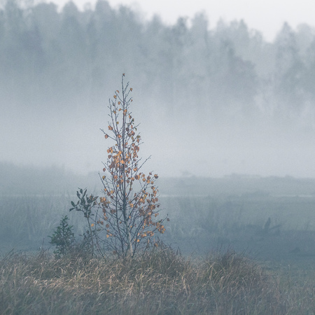 A beautiful misty landscape of a fall in wetlands. Autumn landscape in swamp, soft, diffused light, fog and haze. Sunrise in Latvia, Europe.