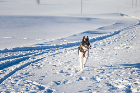 Beautiful alaskan husky dog enjoying a sunny day in winter. Sled dogs in Norway winter. Stock Photo