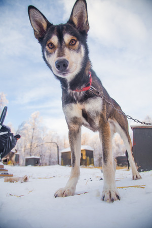 A beautiful portrait of a sled dog, alsakan husky during the sled dog race in Norway. Closeup of a happy sled pulling dog. Stock Photo