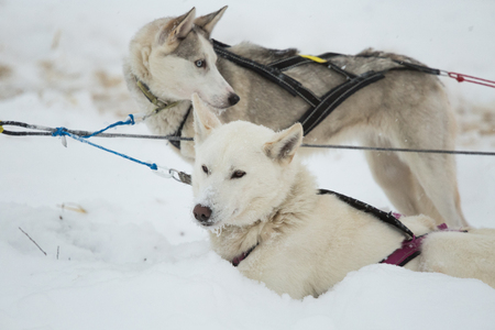 Beautiful alaskan husky dogs resting during a long distance sled dog race in Norway. Dogs in snow. Stock Photo
