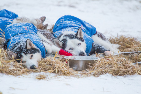 Beautiful alaskan husky dogs resting during a long distance sled dog race in Norway. Dogs in snow. 免版税图像