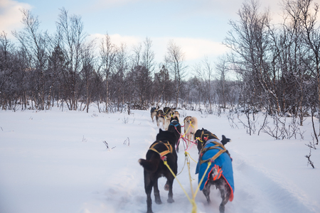 An exciting experience riding a dog sled in the winter landscape. Snowy forest and mountains with a dog team.  Norway winter. 免版税图像