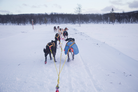 An exciting experience riding a dog sled in the winter landscape. Snowy forest and mountains with a dog team.  Norway winter. Stock Photo