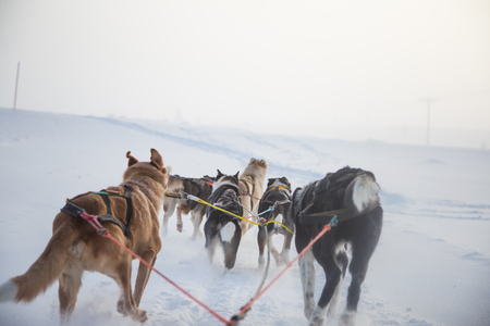 A beautiful six dog teem pulling a sled. Picture taken from sitting in the sled perspective. FUn, healthy winter sport in north. Beautiful, foggy winter morning.