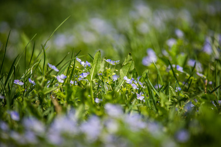 Beautiful, small blue flowers blossoming in the grass in spring. Spring flowers in garden.