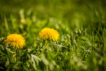 Beautiful whild edible dandelions growing in a grass. Spring flowers in garden. Closeup of a yellow dandelion.