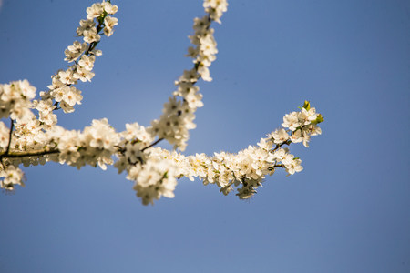 A beautiful, white plum blossoms in the spring. Blossoming plum tree in a sunny day. Bright spring scenery.