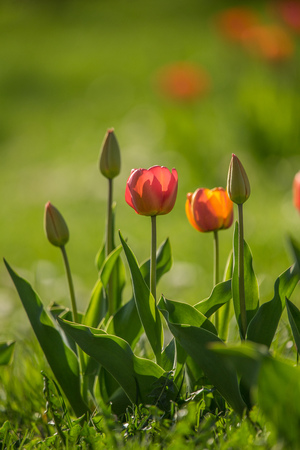 Beautifl red and yellow tulips growing in a spring garden. Spring flowers in sunny day. Stok Fotoğraf