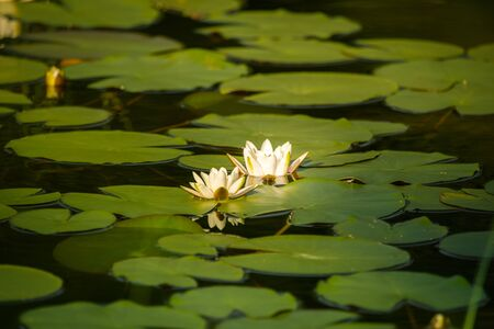 A beautiful light pink water lilies growing in a natural pond. Colorful summer scenery with water flowers. Standard-Bild